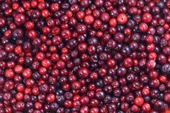 Beaucoup de canneberges se couchant sur la surface horizontale Un beau fond de fruit frais photographie stock libre de droits