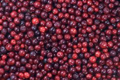 Beaucoup de canneberges se couchant sur la surface horizontale Un beau fond de fruit frais photos stock