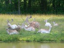 Beaucoup de cerfs communs dans un domaine photographie stock libre de droits