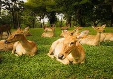 Beaucoup de cerfs communs s'étendent sur le jardin vert Image stock