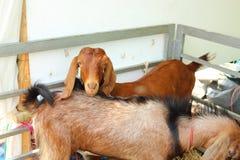 Beaucoup de chèvres brunes sont à la ferme Image stock