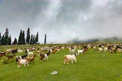 Beaucoup de chèvres de montagne marchant au pré vert photo stock