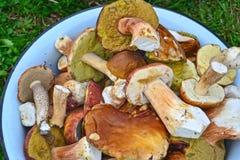 Beaucoup de champignons blancs sélectionnés Image stock