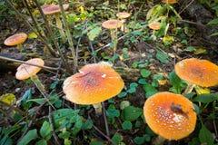 Beaucoup de champignons d'agaric de mouche Photo stock