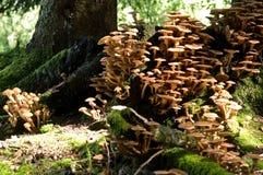 Beaucoup de champignons de couche dans peu d'espace Photos stock
