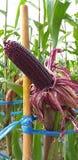 Beaucoup de champs de maïs le maïs est violet images libres de droits