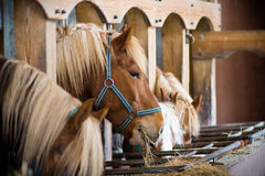 Beaucoup de chevaux dans une ligne Photos stock