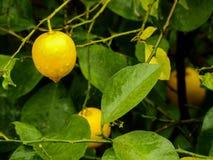 Beaucoup de citronnier de citrons image libre de droits