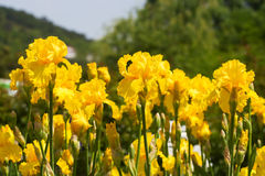 Beaucoup de couleurs de couleur de jaune d'iris Photo stock