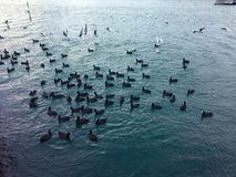 Beaucoup de cygnes dans le lac un troupeau des cygnes brouillant au-dessus de la nourriture sur une rivière Dans les parents de c photos stock