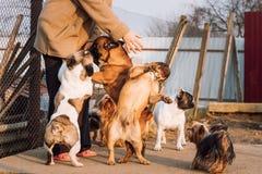 Beaucoup de différents chiens ayant l'amusement avec la maîtresse de femme Bouledogue français Photo libre de droits