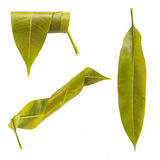 Beaucoup de feuilles de jeunes de mangue Images libres de droits