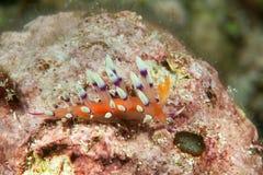 Beaucoup de flabellina désiré ou d'exoptata souhaitable de Flabellina de flabellina se reposant sur le récif coralien de Bali, In photos libres de droits