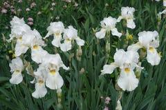 Beaucoup de fleurs blanches d'iris germanique images stock