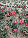 Beaucoup de fleurs blanches et rouges sont belles images stock