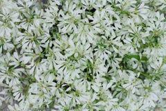 Beaucoup de fleurs blanches sont employées pour décorer des cafés images stock