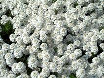 Beaucoup de fleurs de blanc Photo libre de droits