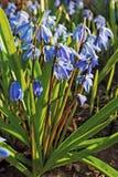 Beaucoup de fleurs de jacinthe des bois dans le jardin Photographie stock libre de droits
