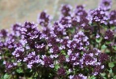 Beaucoup de fleurs de thym Photos stock