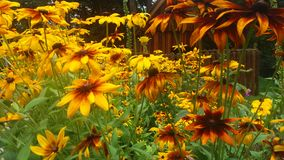 Beaucoup de fleurs de jaune image libre de droits