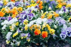 Beaucoup de fleurs, pensées, parterres Pansy Flowers jaune et pourpre dans le jardin photos stock