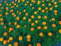 Beaucoup de fleurs de soucis dans la ville images stock
