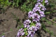 Beaucoup de fleurs sur la branche du daphne photo stock