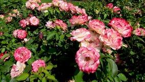 Beaucoup de fleurs sur quelques roses roses et blanches en parc public font du jardinage banque de vidéos