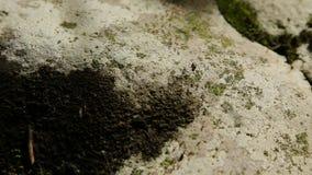 Beaucoup de fourmis déplacent la pierre banque de vidéos