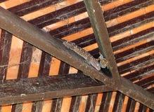 Beaucoup de geckos sont sous les maisons onabandoned par toit image stock