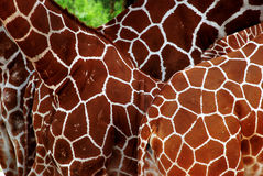 Beaucoup de giraffes Photo stock