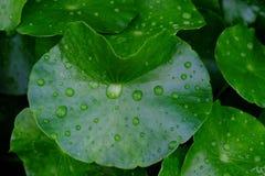 Beaucoup de gouttelettes sur des feuilles de fougère d'eau dans le jour pluvieux images stock