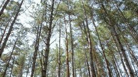 Beaucoup de grands pins contre le ciel bleu banque de vidéos