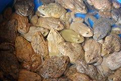 Beaucoup de grenouilles Images libres de droits