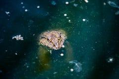 Beaucoup de grenouilles sont trouvées dans un étang dans une ferme de grenouille Photo libre de droits