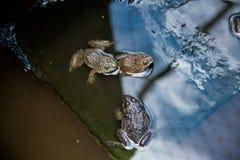 Beaucoup de grenouilles sont trouvées dans un étang dans une ferme de grenouille Image stock