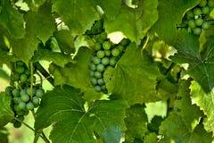 Beaucoup de groupes de raisins verts Images libres de droits