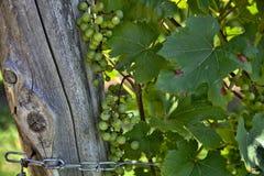 Beaucoup de groupes de raisins verts Image libre de droits