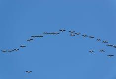 Beaucoup de grues dans le ciel Photo libre de droits