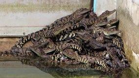 Beaucoup de jeunes crocodiles clips vidéos