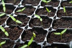 Beaucoup de jeunes jeunes plantes dans le plateau de germination Photos stock