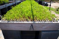 Beaucoup de jeunes plantes dans une pépinière d'usine Image libre de droits