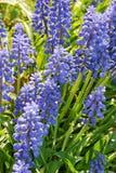 Beaucoup de la fleur de floraison de muscari Images stock