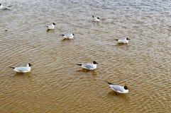 Beaucoup de mouettes des canards des oiseaux sur le lac avec de l'eau trouble jaune sur la plage sur la plage photographie stock