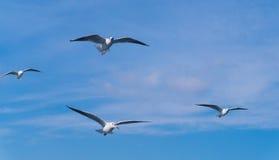 Beaucoup de mouettes volant derrière le bateau Image libre de droits