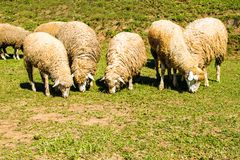 Beaucoup de moutons alimentent l'herbe Belle nature images stock