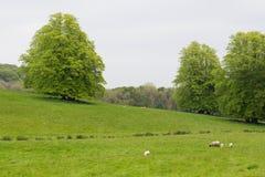 Beaucoup de moutons dans un pré vert en Irlande Photos libres de droits