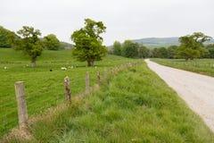 Beaucoup de moutons dans un pré vert en Irlande Photo libre de droits