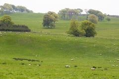 Beaucoup de moutons dans un pré vert en Irlande Images stock