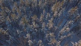 Beaucoup de neige dans le vol de forêt au-dessus des crêtes neigeuses dans le sapin banque de vidéos